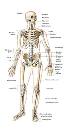 das skelett und die organe des menschen 5 klasse pinterest biologie organe und anatomie. Black Bedroom Furniture Sets. Home Design Ideas