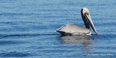 Pelican sitting on the water off the coast of La Jolla, California