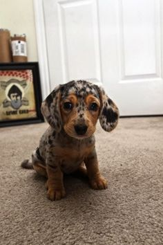 Dachshund Puppies 5 Interesting facts about Dachshund, click the pic to know. so cute I want one. These puppies are armed and adorable. Animals And Pets, Baby Animals, Funny Animals, Cute Animals, Wild Animals, Animal Babies, Fur Babies, Cute Puppies, Dogs And Puppies
