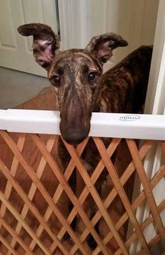 XFactor is now available for adoption! Learn more: http://www.galtx.org/hounds/xfactor.shtml #greyhounds #adopt
