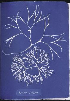 Furcellaria fastigiata. From New York Public Library Digital Collections.