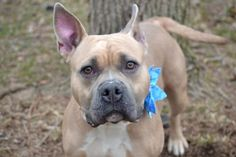 TO BE DESTROYED –  04/16/15 –  CORAL - A1031659 - STATEN ISLAND, NY -   ***Publicly Adoptable***  Barely out of puppyhood, this stunning girl that Staten Island ACC calls Coral has been sitting patiently for her people to come and get her out of this scary place. Sadly, nobody ever came and now ACC wants her gone—they've put Coral on tomorrow's euthanasia list. She's a wonderful girl, this Coral is! Absolutely stunning with that tan and white coat, absolutely sw