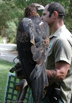 The Australian Wedge Tailed Eagle.  (This photograph gives you some idea on how large these birds really are!)  Photo By: © 2004 http://places.rnr.id.au