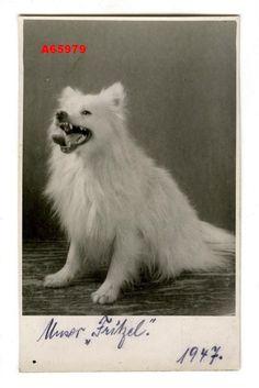 *1947* VINTAGE PHOTO PC CUTE SPITZ DOG