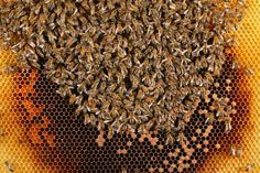 Le Peuple des Abeilles par le photographe Eric Tourneret. Aussi visible sur Apis Cera (www.apiscera.com) Buzzy Bee, Bee Boxes, Chest Muscles, Bee Keeping, Growing Plants, Animal Print Rug, Landscape Design, Honey, Visible