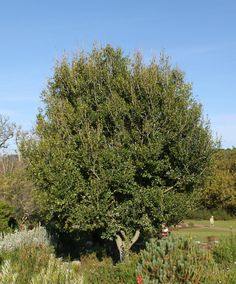 File:Apodytes dimidiata tree - Cape Town 4.jpg