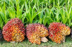 Pile of palm oil Stock Photos , What Is Palm, Palm Fruit Oil, Oil Industry, Tree Illustration, Wedding Thank You, Natural World, Sustainability, Europe, Marseille