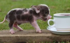 Looking for micro pigs or miniature pigs? You've found the right place! Find micro pig pictures, micro pigs for sale listings, micro pig videos, micro pig information and much more cute piggy things! Micro and miniature pigs are the cutest little. Pet Pigs, Baby Pigs, Baby Goats, Baby Animals, Funny Animals, Cute Animals, Teacup Piglets, Miniature Pigs, Mundo Animal