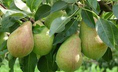 Rund um die Birne und den Birnbaum - auf unserer Themenseite erfahren Sie mehr!
