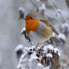 Garden: 5 things to know about the robin - Oiseaux - Quick chicken recipes Wildlife Photography, Animal Photography, Funny Bird, European Robin, Robin Redbreast, Australian Birds, Winter Scenery, Bird Pictures, Birds Pics