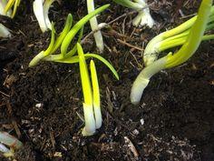Onion Sprouts, Celery, Banana, Vegetables, Fruit, Bananas, Vegetable Recipes, Fanny Pack, Veggies