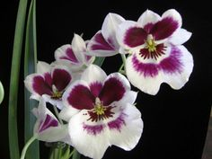 Miltonia orchid Begonia, Miltonia Orchid, Growing Orchids, Colorful Flowers, Container Gardening, Backyard, Plants, Image, Pattern