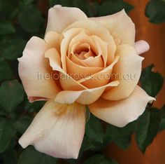 JULIA'S ROSE - With a quite distinctive coffee colour bloom, this rose is a favourite for floral arrangements. Good healthy variety.