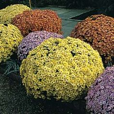 chrysanthemum indicum, leaves and the stalk are poisonous