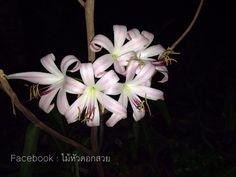#ไม้หัวดอกสวย  #flowers #nature  #garden #flowerstagram #flowershop #flowerslovers #beatifulflowers #Soloflowers #ไม้หัวดอกหอม #หอมกลางคืน #night #flowers Follow me at Facebook : Longsuttirak