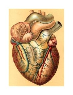 medical anatomy illustration of the human heart note