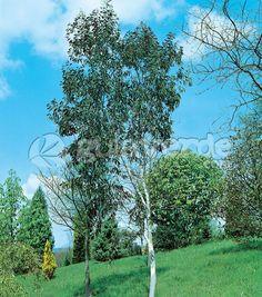 Eucalyptus pauciflora ssp. niphophila - Gomero de las nieves