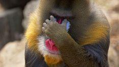 Mandrill Monkey, Macaque Monkey, Baby Gorillas, Animal Makeup, Baboon, Happy Birthday Images, Fauna, Nature Scenes, Primates