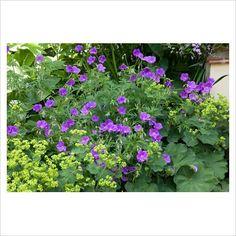 Kontryhel v kombinaci s květinami, tady zrovna kakosty  Geranium clarkei 'Kashmir Purple', with Alchemilla mollis