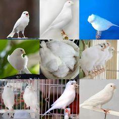 Canary Birds, Bird Perch, All Birds, Albino, Bird Species, My Animal, Beautiful Creatures, Parrot, Serin