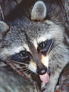 Coon huntin' is just right around the corner!! I'M SO FREAKINNNN' EXCITEDDD!!! :D