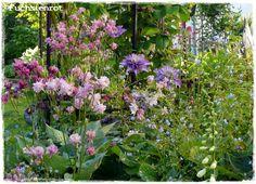 Fuchsienrots Garten - Blog Akelei in meinem Garten