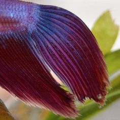 Awesome closeup showing off the beautiful details of a betta's fins! #bettaboxx #betta