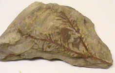 plant fossils - this is similar to a fossil of a delicate-looking plant that can be viewed in the NYS Museum, Albany, NY - how can a delicate plant maintain its form over MILLIONS of years without decaying??  it can't!  this is evidence for a devastating world-wide flood which produced massive sediment suddenly and sealed the plant, preventing it from decaying.