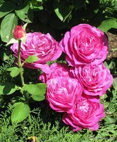 39 pastella 39 rose photo roses pinterest photos rose. Black Bedroom Furniture Sets. Home Design Ideas
