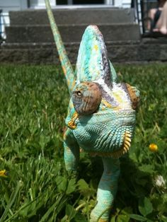 Chamo The Hunter! My 3.5 year old Veiled Chameleon, my pride and joy!