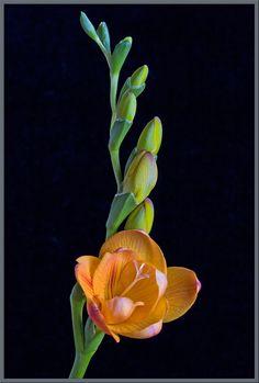 Freesia.... Smells divine- my fav flower- beautiful in white