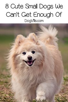 """Thinking of getting a sweet, adorable Pomeranian puppy? But first, read Pet Hangout's, """"The Pom Breed - What You Need To Know"""" to be sure it's the perfect dog for you and your family. Cutest Small Dog Breeds, Cute Small Dogs, Cute Dogs Breeds, Small Breed, Pomeranian Breed, Smartest Dog Breeds, Pom Dog, The Perfect Dog, Companion Dog"""