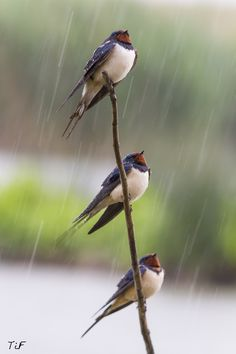 Swallows in the rain Funny Birds, Cute Birds, Pretty Birds, Beautiful Birds, Animals Beautiful, Nicolas Vanier, Bird Aviary, Bird Artwork, Kinds Of Birds