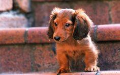 Cute Dachshund Puppy