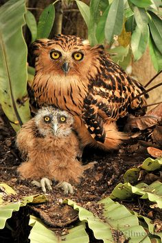 Buffy Fish owl and her chick