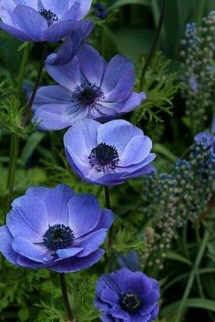 ~~Blue Flowers at Longwood Gardens . Blue Anemone by beingbailey~~ Exotic Flowers, Amazing Flowers, My Flower, Purple Flowers, Flower Power, Beautiful Flowers, Anemone Flower, Flowers Nature, Fresh Flowers