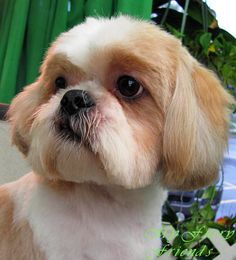 Pet Grooming: The Good, The Bad, & The Furry: Scissoring a Shih-Tzu Head