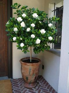 Discover the benefits of gorgeous versatility from our Gardenia Trees! Potted Plants Patio, Outdoor Plants, House Plants, Plants By The Pool, Plants For Porch, Plants In Pots, Plant Pots, Planters, Patio Trees