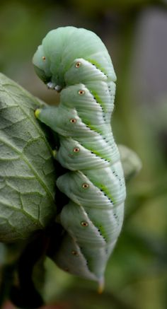 fatchance:Parr Lane Critters: Tobacco hornworm caterpillar, on my sister's prize tomato plant. This hornworm is similar in. Weird Insects, Bugs And Insects, Beautiful Bugs, Beautiful Butterflies, Beautiful Creatures, Animals Beautiful, Cool Bugs, Flying Flowers, Moth Caterpillar