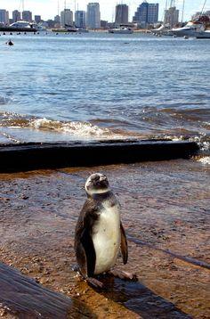 Urban penguin - Punta del Este, Maldonado- Uruguay