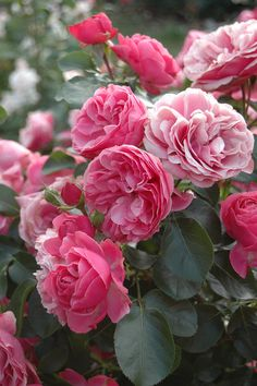 'Leonardo da Vinci' |FL rose Bred by Alain Meilland (France, before 1993) | Flickr - © nika_mm