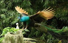peacock and chick