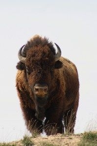 Buffalo, known internationally as American Bison, are an enduring symbol of conservation in the Great Plains. Coming from Nebraska, I am really proud of the fragile but stable recovery these creatures have had .