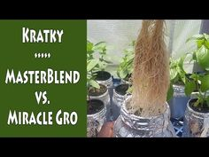 In today's experiment, I compare using Miracle-Gro water soluble fertilizer as a Kratky solution vs the MasterBlend way. 6x4 Greenhouse, Greenhouse Gardening, Hydroponic Gardening, Garden Planters, Hydroponics, Garden Shelves, Garden Images, Flower Stands, Seed Pods