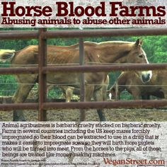 Just when we think animal agriculture has reached the depths of cruelty, they find another way to horrify us. There are farms in the US, Uruguay and Argentina that keep herds of mares impregnated so they can collect as much blood as possible from them to sell to pharmaceutical companies who use it to produce a drug called PMSG - Pregnant Mare Serum Gonadotropin - that is injected into sows to stimulate the heat cycle so they can get pregnant faster…