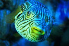 https://flic.kr/p/dJD6Tg | Fish kiss | A puffer-like fish at the Birch Aquarium at Scripps in La Jolla, California.