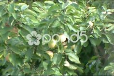 Video: Apple tree branches moving in the wind. Apple Tree, Tree Branches, Stock Video, Stock Footage, Shots, Plants, Plant, Planets
