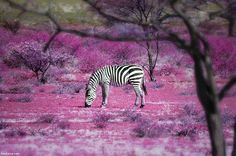 """""""Once Upon a Time"""" in Kenya (by Ben Heine). Love the black and white zebra in contrast to the purple. Zebras, Over The Rainbow, Animals Beautiful, Cute Animals, Baby Animals, Ben Heine, Black White, White Plum, Mundo Animal"""