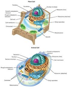 Interactive diagram of plant and animal cell structures Science Cells, Science Biology, Teaching Biology, Science Lessons, Science Education, Science Projects, Life Science, Science Experiments, School Projects