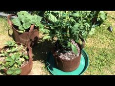 Tomato Plant Grown In a 1 Gallon Grow Bag With Massive Roots!
